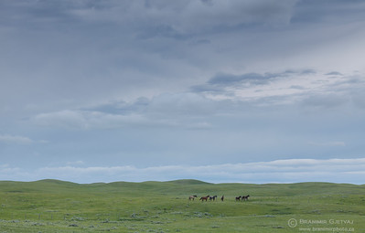 Horses in Auvergne-Wise Creek PFRA community pasture, Saskatchewan