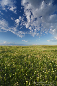 Prairie with death camas in bloom. Masefield PFRA pasture. Monchy, Saskatchewan