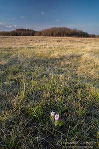 Prairie crocus in pasture. Wolverine PFRA community pasture, Saskatchewan