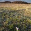 Prairie crocus in pasture. Wolverine PFRA community pasture, Saskatchewan