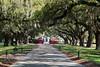 Live Oak Trees Line the Driveway