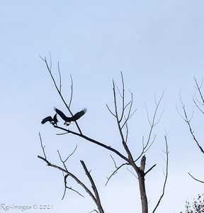 The female eagle landing next to the noisy male
