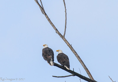Male (left) and female keeping an eye on their territory