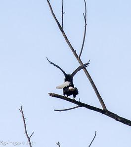 Mating eagles