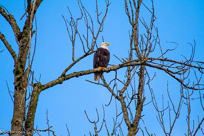 The male eagle