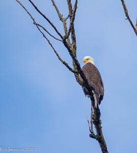 The female eagle