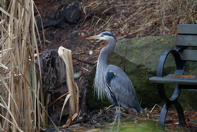 Great Blue Heron in Devonian Harbour Park.