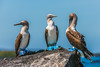 Three Blue-footed Boobies