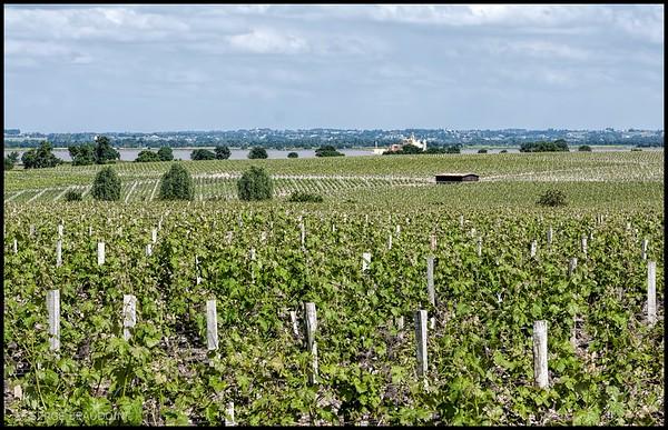 Château Latour Vineyard