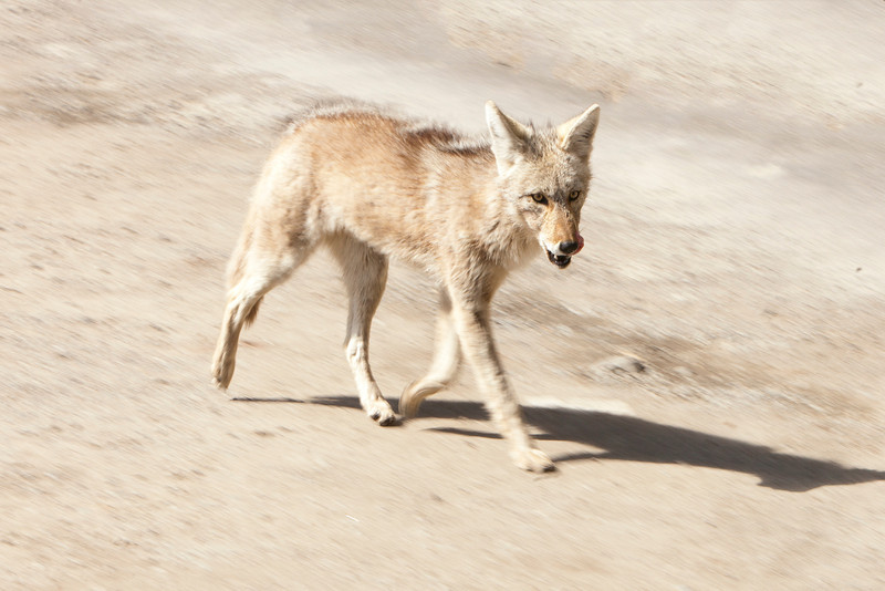 Coyote on a stroll.