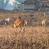 Herding Cows 4239