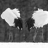 Japanese Cranes 0750 Preening