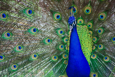 Indian Blue PeafowlPeacock with his feathers spread