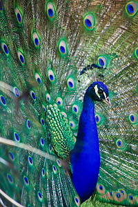 Indian Blue PeafowlPeacock with his feathers spreadSide view... feathers to the left