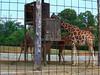 Video of the Giraffes