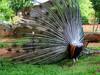 Peacock Mating Dance