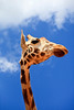 Giraffe Head and Neck Close Up