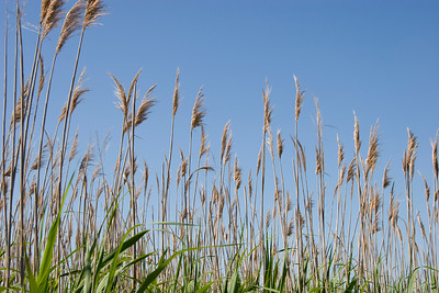 Sea Oats - Makes great background