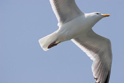 Herring Seagull