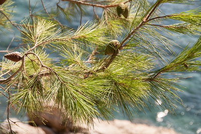 Pine Needels on the Rock Promenade of Cavtat