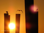 ColinRuggieroPhoto_Gull_Silhouettes_on_pilings_at_Staniel_Cay_Yacht_Club_3