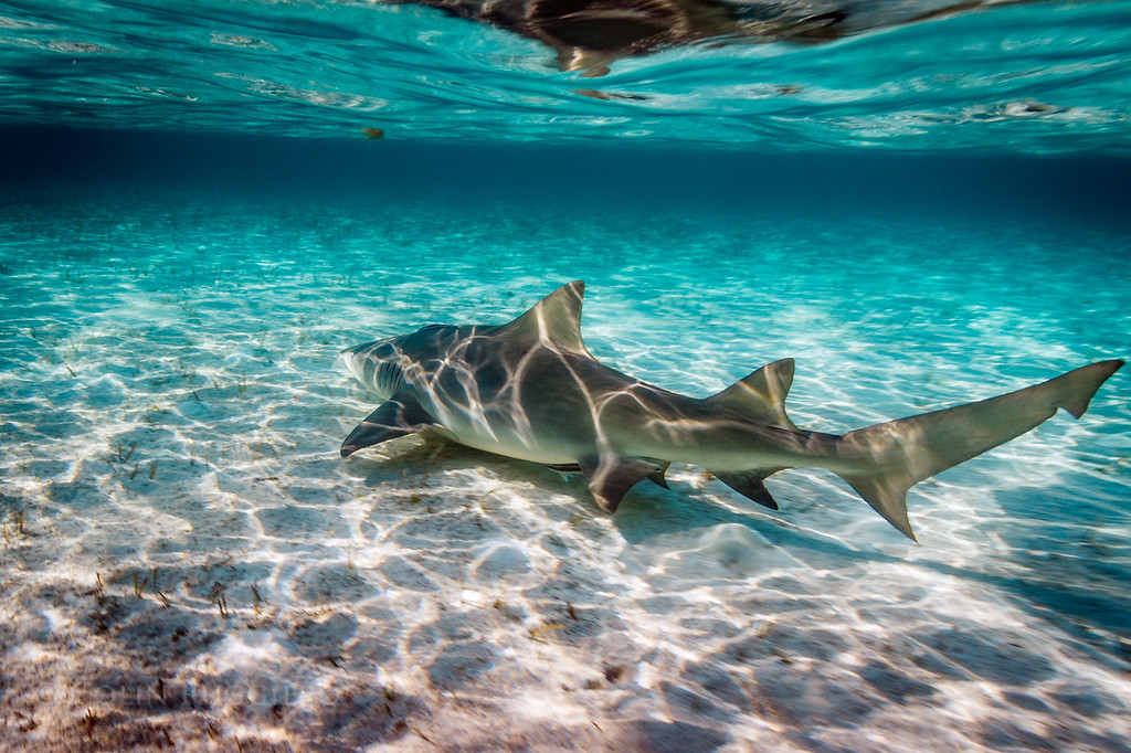 An adult lemon shark moves through a shallow tidal zone near Hattie Cay in the Exuma Cays.