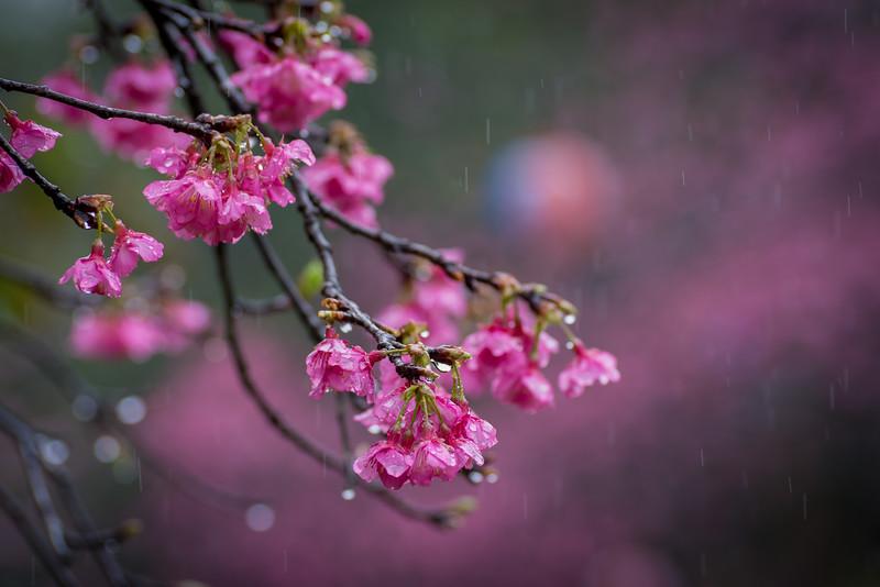 Blossoms of Okinawa
