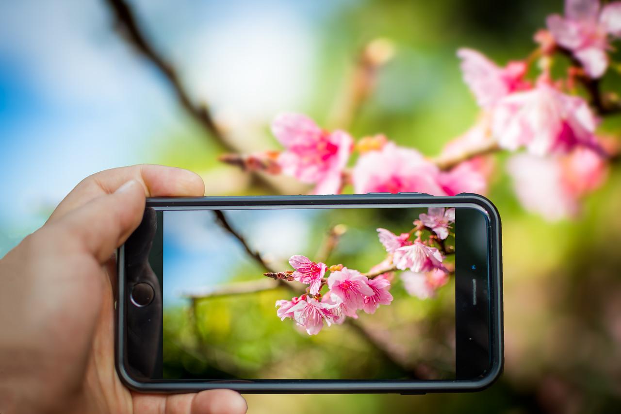Nago Cherry Blossoms