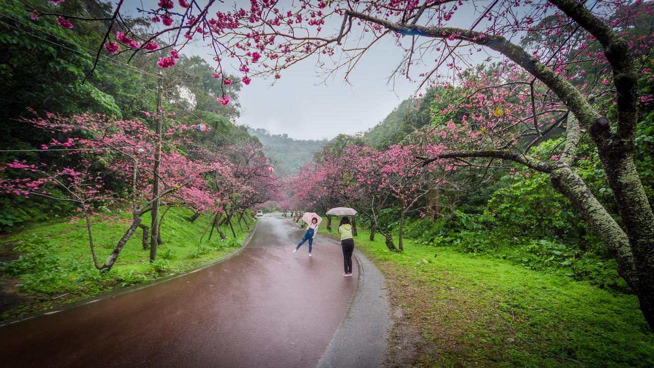 Mt Yae Sakura