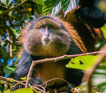 Golden Monkey-11