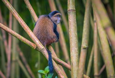 Golden Monkey-3