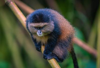 Golden Monkey-2