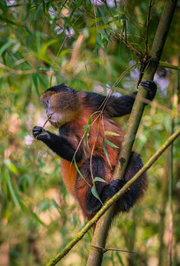 Golden Monkey-6