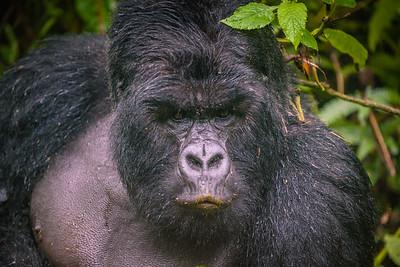 Gorilla-4