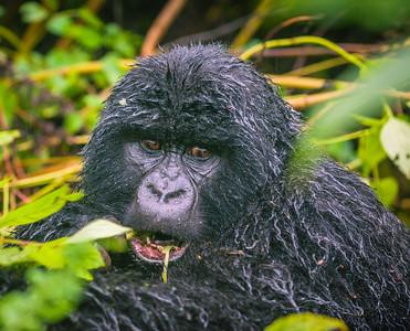 Gorilla-9