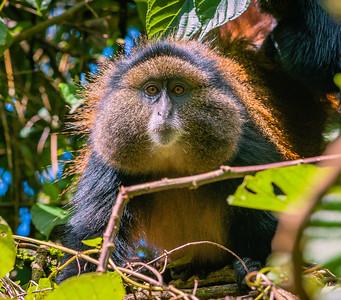 Golden Monkey-12