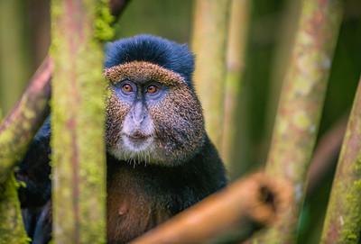 Golden Monkey-4