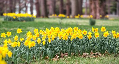 Tower Grove Daffodils