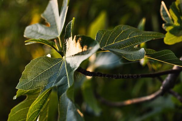les rayons de soleil sur le figuier | sunrays on the fig tree