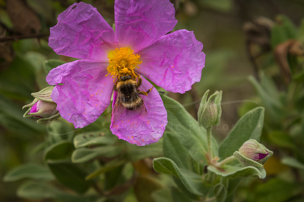 no lockdown for the bumblebee | pas de confinement pour le bourdon
