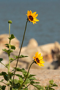 Just some yellow flowers at a sea wall.