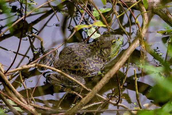 The Hidden Bull Frog...