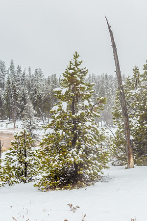 The September Snow in Yellowstone