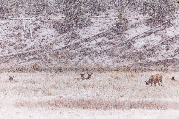 Elk - The September Snow in Yellowstone