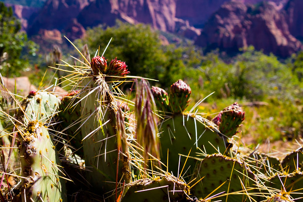 Just Some Cactus in Zion