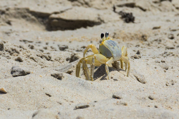 Just a Sand Crab