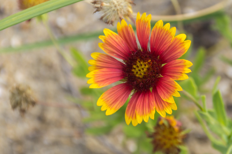 A flower on the Sand Dunes.