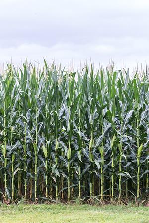 South Jersey Corn!