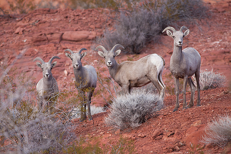 A harem of bighorn sheep