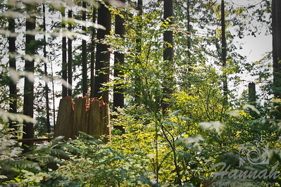 Rainforest Trees found inside the Capilano Suspension Bridge Vancouver, British Columbia, Canada   © Copyright Hannah Pastrana Prieto